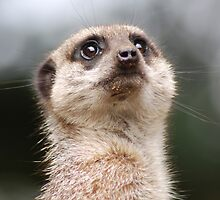Meerkat by Lorna Mulligan