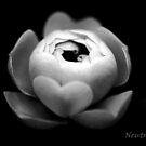Wild rose by Neutro