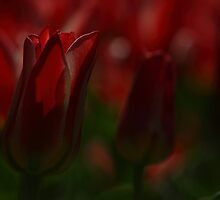 Red tulips by elviraphoto