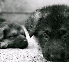 German Shepherd Pups by Lou Wilson