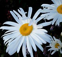 Daisy by TeaAira