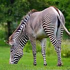 Zebra Grazing by withacanon