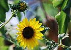 Late Summer Wild Sunflower by barnsis