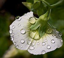 Raindrops on sweet pea by Celeste Mookherjee