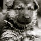 Sweet As Candy (German Shepherd Puppy) by Lou Wilson