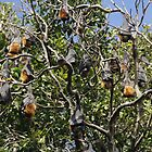 Bats in Tree or are they Flying Foxes by ©Josephine Caruana