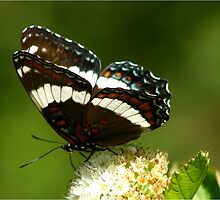 Red-spotted Purple and White Admiral by Bill  Cresswell