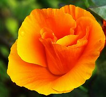 California Poppy by Susie Peek