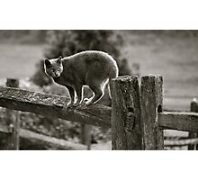 Grey Farm Cat Photographic Print