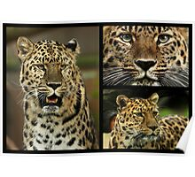 Amur Leopard Collage Poster