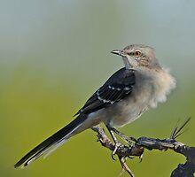 Mockingbird by photosbyjoe