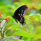 Spicebush Swallowtail ( Papilio Troilus ) by Jeff Ore