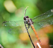 Tau Emerald Dragonfly ( Hemicordulia Tau ) by Jeff Ore