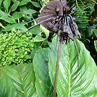 Tacca chantrieri or Bat Lily by Trish Meyer
