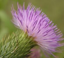 Purple Bull Thistle by Sharon Woerner