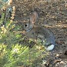 Cottontail Rabbit Hides In The Undergrowth by Cate Peterson