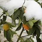 Oranges and Snow - Winter and Spring by cishvilli