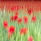 Poppy Field by Adam Webb