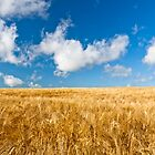 Wheat field with blue sky by Jim Orr