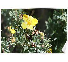 Shrubby Cinquefoil -Dasiphora floribunda (Potentilla fruticosa) Poster