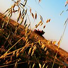 Harvesting Oats by Steph Peesker