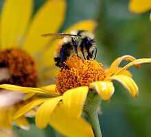 Bumble Bee at Work by creativechuckie
