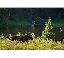 Moose At Brainard Photographic Print