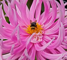 Bumble Bee and Dahlia by John Butler