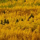 Colorado quaking aspens by Christine Ford