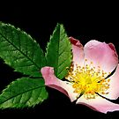 Alberta Wild Rose by Paddio
