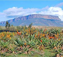 A FEAST OF ALOE'S, VANRIJNSDORP, NAMAQUALAND,SOUTH AFRICA by Magaret Meintjes
