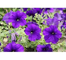 Summer Purple - Petunias Photographic Print
