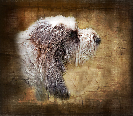 Shaggy dog by almaalice