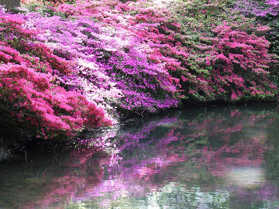 Pretty pink azaleas with shadow over stream  by design13