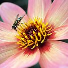Hover fly drinking from a flower by jrsisson