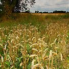 Late Summer Wheat by Andrew Leighton