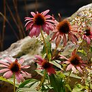 Purple Cone Flower,Echinacea by Mechelep
