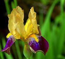 Beautiful Iris by Mechelep