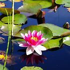 Water Lily by LinneaJean