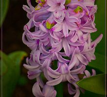 Happy Hyacinth by margo