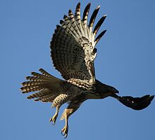 Red Tail In Flight by DARRIN ALDRIDGE