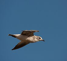 Juvenile Herring Gull by Jon Lees