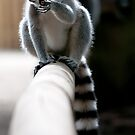 Lemur by Matthew Walters