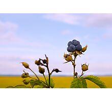 Bluish blackberries berries Photographic Print
