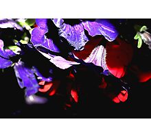 Pansy Flower Tips Photographic Print