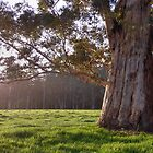 Karri Tree, South West Australia by SoulSparrow