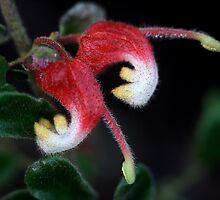 Grevillea alpina by andrachne