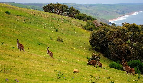 Kangaroos with Joeys grazing by Simon Bannatyne