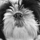 Shih Tzu - Whats That Smell by AmandaJanePhoto