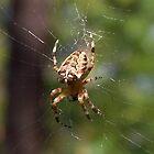 Araneus Spider by SophiaDeLuna